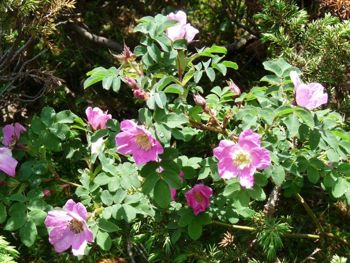 rock roses in the Pyrenees