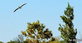 Dalmation Pelican in Saint Cyprien