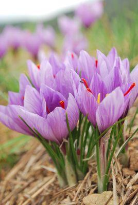 Saffron farming in the Pyrenees Orientales
