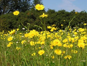 Sorede_wild_flowers