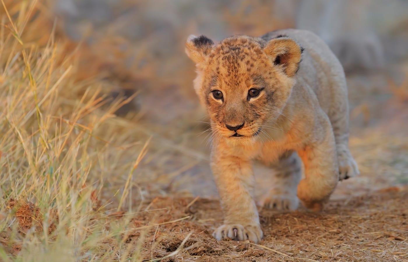 lion cub in Vinca