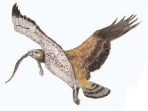 short toed eagle po naturally